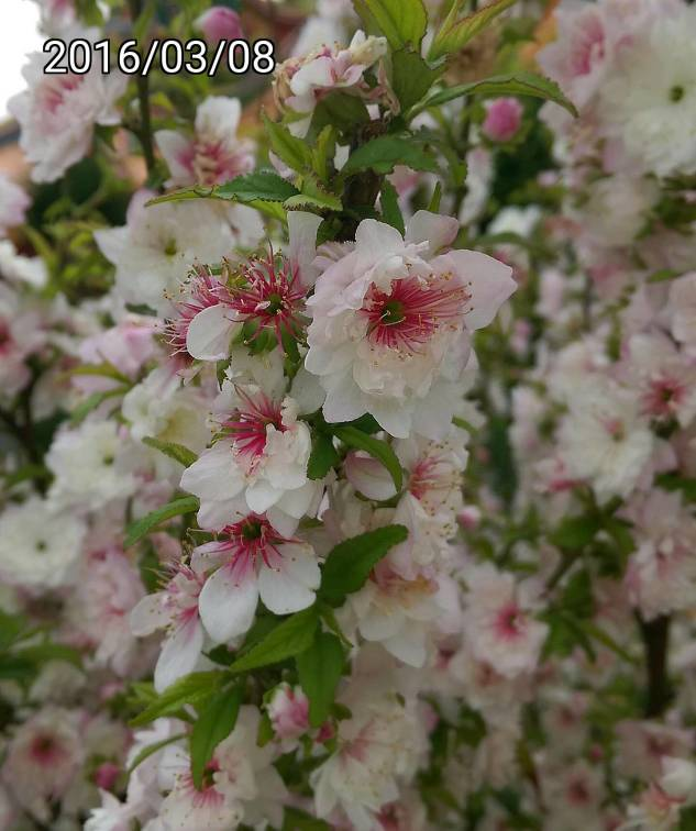 複瓣粉紅色 郁李、Japanese bush cherry, or Oriental bush cherry、Prunus japonica, Cerasus japonica